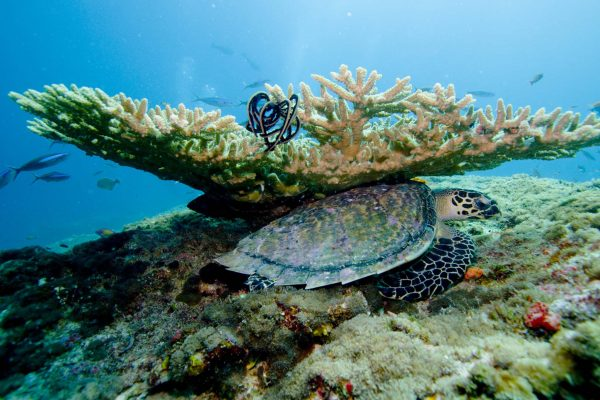 Diving in the coral atolls of the Maldives: a sea turtle takes shelter under a branch of coral as small fish swim by in the background