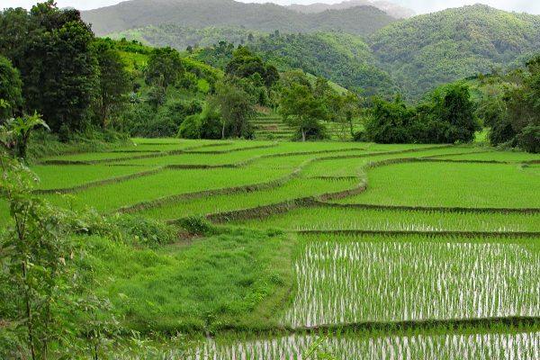 Green shoots of rice growing from shallow terraced rice padis in the green hills of Chiang Rai, Thailand