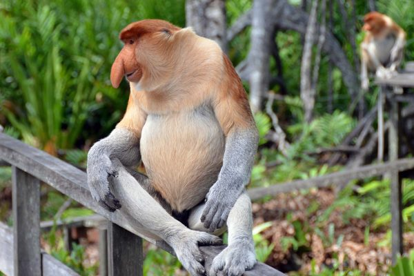 A proboscis monkey with his distinctive large nose sits on a wooden fence in Borneo, Malaysia