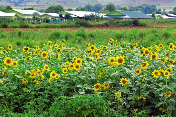 A field of sunflowers blooming in Kalaw, Myanamar
