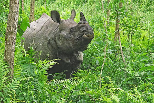A profile shot of a large rhino in a patch of ferns in Chitwan National Park, Nepal