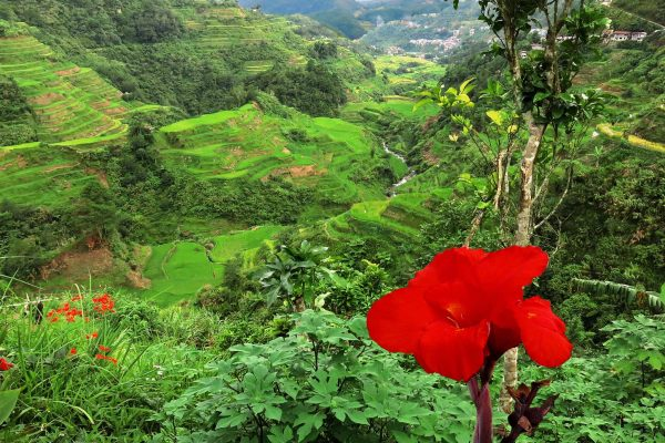 A red flower in the foreground of a valley in the Banaue Rice Terraces, Luzon, The Philippines