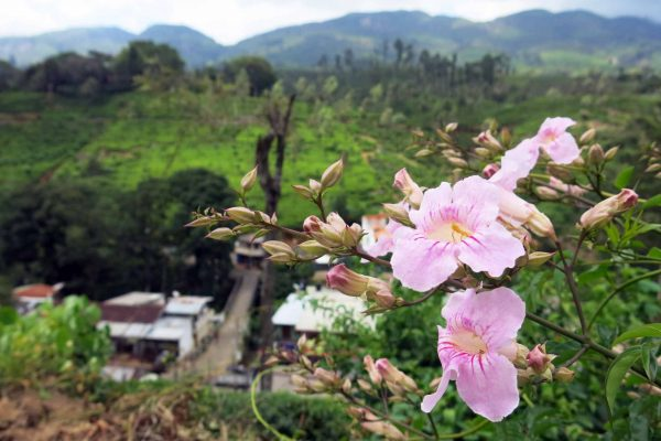 Pink wildflowers grow on a hill above a tea processing factory in Hatton, Sri Lanka