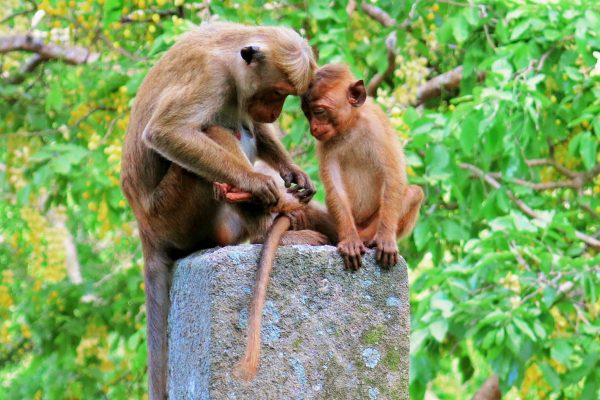 A mother monkey grooming the leg of her baby in Sri Lanka.