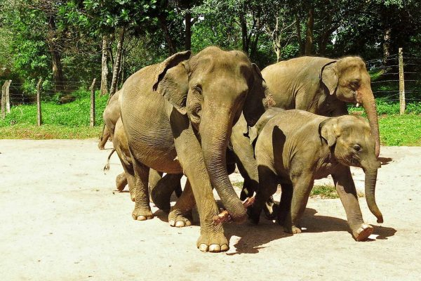 A group of elephants walk in a close group along a dirt road, one is looking at the camera and seems to be smiling, in Pinnawella, Sri Lanka.