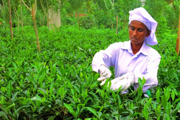 A woman worker dressed in all white with white gloves, in a tea plantation cutting the finest tea leaves for white tea, Sri Lanka.